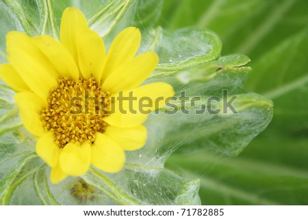 flower of seaside ragwort