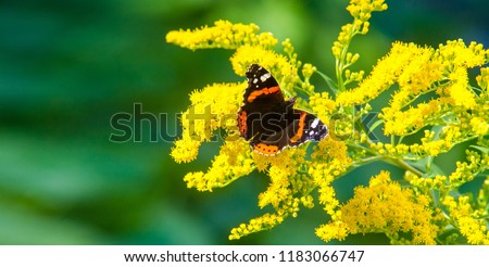 flower of Solidago commonly called goldenrods comes from North America including Mexico native to South America and Eurasia Butterfly Vanessa atalanta the red admiral or previously the red admirable #1183066747