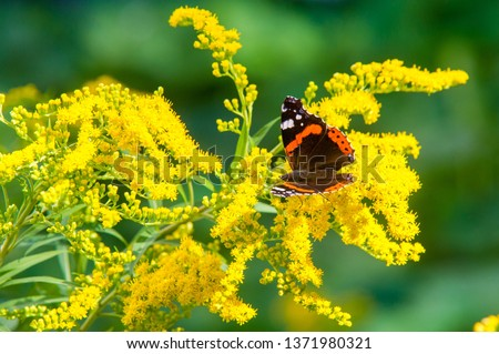 flower of Solidago commonly called goldenrods comes from North America including Mexico native to South America and Eurasia Butterfly Vanessa atalanta the red admiral or previously the red admirable #1371980321
