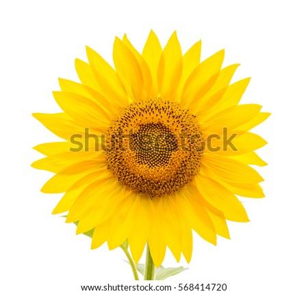flower of sunflower isolated on ...