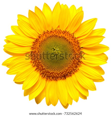 Flower of sunflower isolated on white background. Seeds and oil. Flat lay, top view #732562624