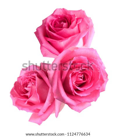 flower of three pink rose head isolate white #1124776634