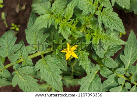 Flower of tomato on a bed in the greenhouse, the yellow flower of a tomato