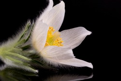 Flower of white Pulsatilla vulgaris alba ( pasqueflower) isolated on black background, close up