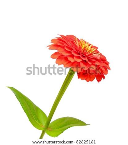 flower of zinnia isolated on white background