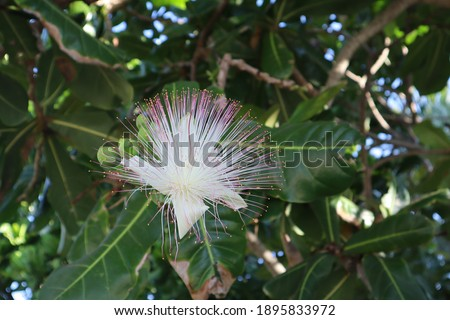 Flower on Barringtonia asiatica (fish poison tree, putat or sea poison tree) on nature blurred Green Background. Сток-фото ©