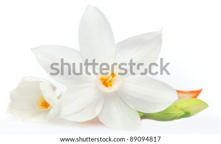 Flower on White Background Isolated, Daffodil