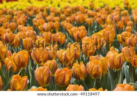 stock-photo-flower-orange-tulips-49118497.jpg
