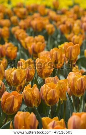 stock-photo-flower-orange-tulips-49118503.jpg