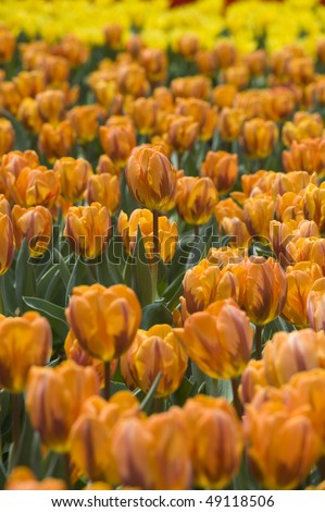 stock-photo-flower-orange-tulips-49118506.jpg