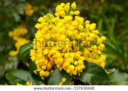flower oregon grape