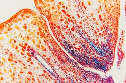 flower ovary and ovule- science background. Microscopic- micrograph of a plant cell. Photo micro sections with high magnification with light microscope