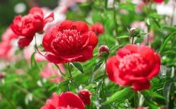 Flower peonies flowering in the summer peonies flowers garden. Nature.