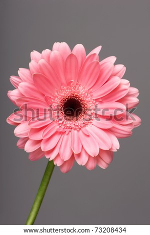 Flower pink gerbera on a gray background