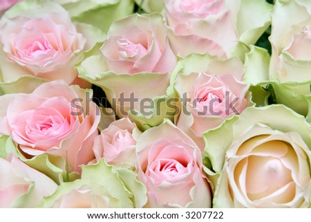 Green And Pink Roses Flower pink green rose detail