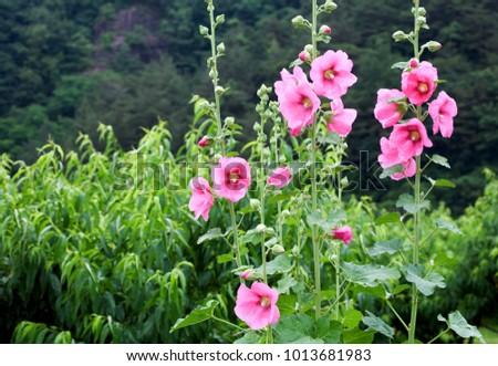 flower, pink hollyhock