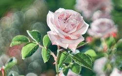 Flower pink rose flowering in a pink roses garden.