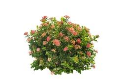 flower plant bush tree isolated on white background