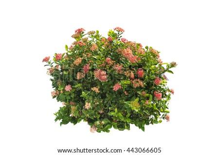 flower plant bush tree isolated on white background   #443066605