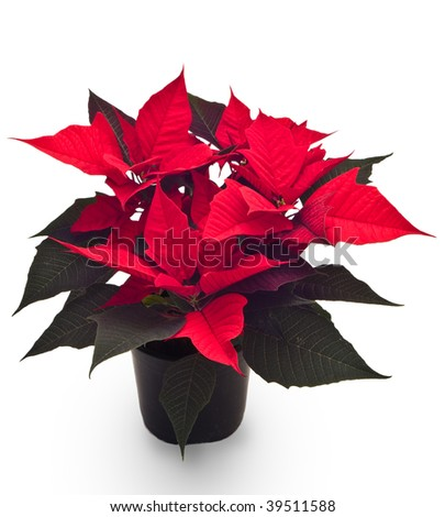 flower poinsettias Christmas  isolated on white background
