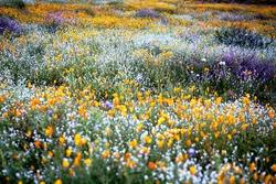 FLOWER/ POPPY FLOWER / wild flower