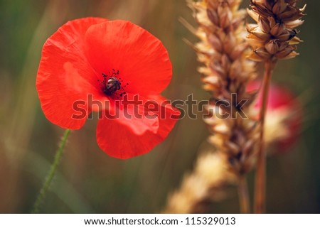Flower - Poppy - Red Poppy or Corn Rose - in cornfield - for Remembrance Day / Sunday.