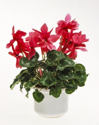 Flower pot, cyclamen, Cyclamen persicum