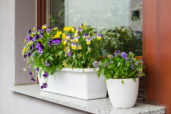 Flower pots with beautiful blooming pansies on balcony. Cozy summer balcony with many potted plants.