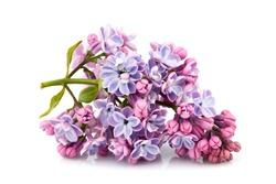 Flower purple lilac, Syringa vulgaris isolated on white background.