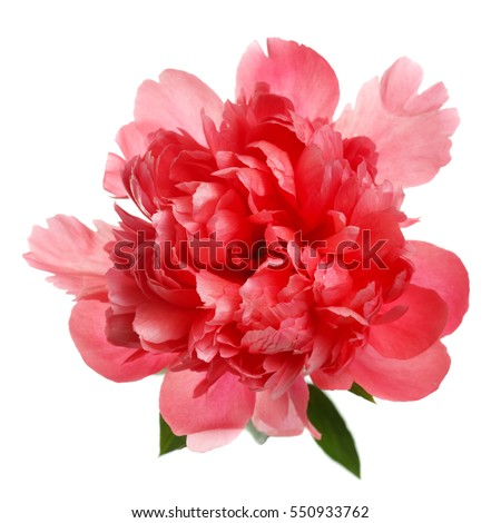 Flower rare salmon-colored peony isolated on white background. #550933762