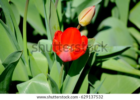 Flower red tulips, tulip with green blade