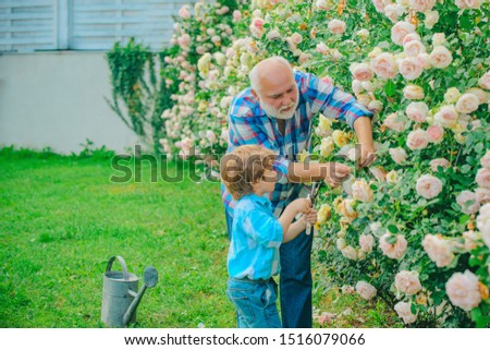 Flower rose care and watering. Grandfather with grandson gardening together. Grandfather working in garden near flowers garden. Gardener in the garden