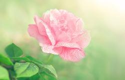 Flower rose flowering on green background in garden flowers. Water drop on petal.