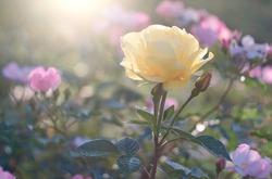 Flower Rose flowering on roses garden.  Nature.