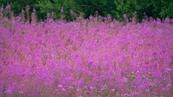 Flower sea, sea of pink colour. A striking flower fills the uncultivated fields, wastelands and forest edges of Europe in second half of summer. Blooming sally (Epilobium angustifolium)