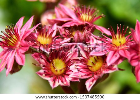 Flower sempervivium, flower houseleek, is a species of flowering plant in the stonecrop family Crassulaceae, native to Alps in Europe. Flowers in pink, red, burgundy with yellow and white accents. #1537485500