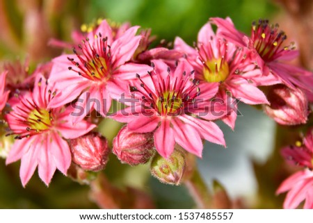 Flower sempervivium, flower houseleek, is a species of flowering plant in the stonecrop family Crassulaceae, native to Alps in Europe. Flowers in pink, red, burgundy with yellow and white accents. #1537485557