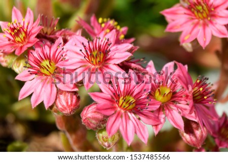 Flower sempervivium, flower houseleek, is a species of flowering plant in the stonecrop family Crassulaceae, native to Alps in Europe. Flowers in pink, red, burgundy with yellow and white accents. #1537485566