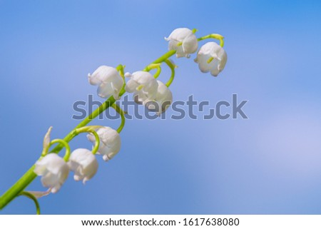 Flower Spring Lily of the valley Background Horizontal Close-up Macro shot. Blooming lily of the valley against a blue spring sky. Lily of the valley.