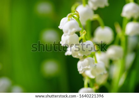 Flower Spring Lily of the valley Background Horizontal Close-up Macro shot. Natural nature background with blooming beautiful flowers lilies of the valley lilies-of-the-valley.