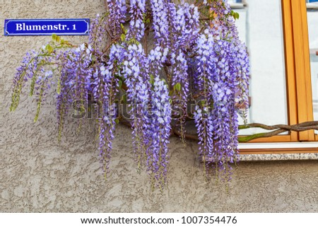 Flower street Abstract name in German. Flowering Wisteria plants on house wall background.  Natural home decoration with flowers of Chinese Wisteria ( Fabaceae Wisteria sinensis )