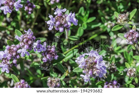 Flower thyme in the nature. Close up