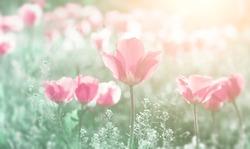 Flower tulip flowering in the summer tulips flowers garden. Nature.