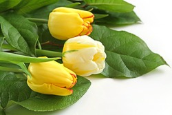 Flower Tulip. yellow tulips with green leaves on a white background. copy space