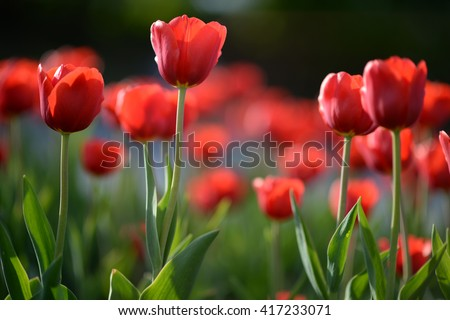 Flower tulips background. Beautiful view of red tulips under sunlight landscape at the middle of spring. red tulips, field of tulips,  tulips cute, colorful tulips, petals amazing tulips