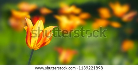 Flower Tulips flowering on background orange tulips flowers. #1139221898