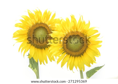 Flower, two flowers, sunflower White background