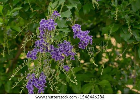 flower,Violet,local fauna end flora Hamamatsu Shizuoka