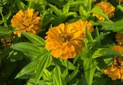Flower wallpaper jamanthi yellow grean leaf