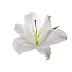 Flower white lily isolated on white background
